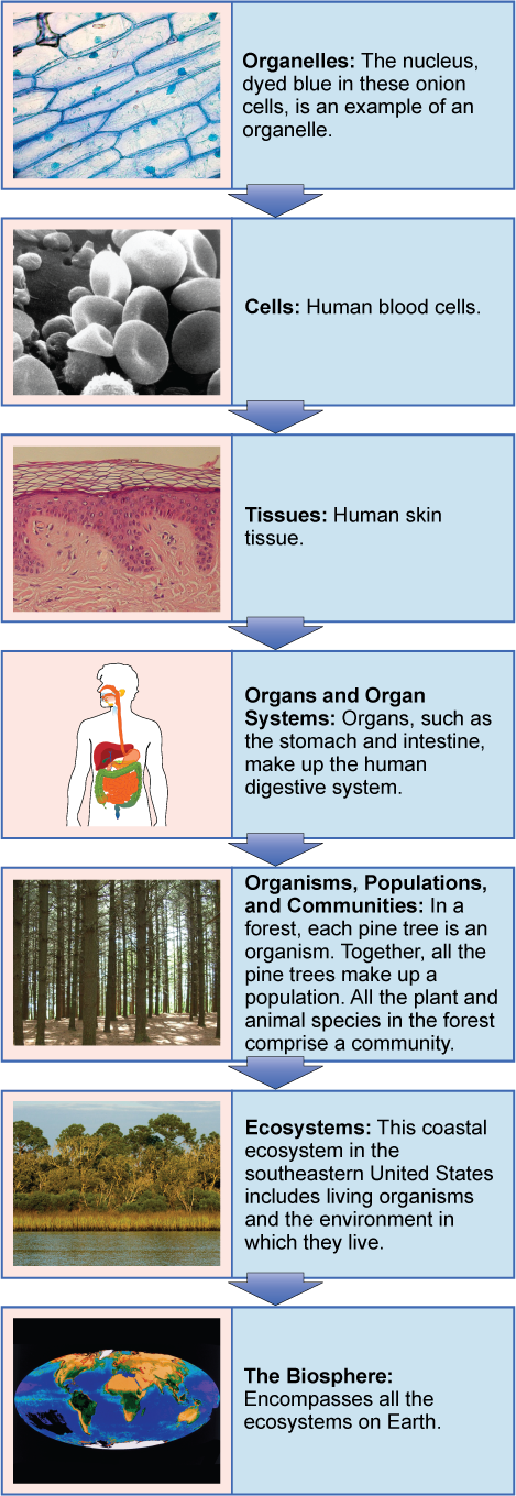 A flow chart shows the hierarchy of living organisms. From smallest to largest, this hierarchy includes: (1) Organelles, such as nuclei, that exist inside cells. (2) Cells, such as a red blood cell. (3) Tissues, such as human skin tissue. (4) Organs such as the stomach make up the human digestive system, an example of an organ system. (5) Organisms, populations, and communities. In a forest, each pine tree is an organism. Together, all the pine trees make up a population. All the plant and animal species in the forest comprise a community. (6) Ecosystems: the coastal ecosystem in the Southeastern United States includes living organisms and the environment in which they live. (7) The biosphere: encompasses all the ecosystems on Earth.