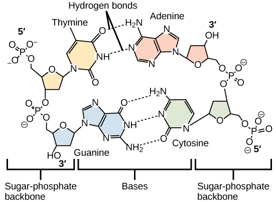 Molecular models show hydrogen bonding between thymine and adenine, and between cytosine and guanine. These four DNA bases are organic molecules containing carbon, nitrogen, oxygen, and hydrogen in complex ring structures. Hydrogen bonds between the bases hold them together.