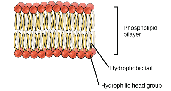 An illustration of a phospholipids bilayer is shown. The phospholipids bilayer consists of two layers of phospholipids. The hydrophobic tails of the phospholipids face one another while the hydrophilic head groups face outward.