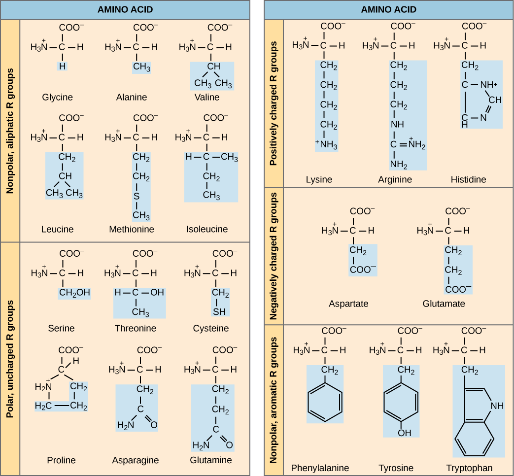 The molecular structures of the twenty amino acids commonly found in proteins are given. These are divided into five categories: nonpolar aliphatic, polar uncharged, positively charged, negatively charged, and aromatic. Nonpolar aliphatic amino acids include glycine, alanine, valine, leucine, methionine, and isoleucine. Polar uncharged amino acids include serine, threonine, cysteine, proline, asparagine, and glutamine. Positively charged amino acids include lysine, arginine, and histidine. Negatively charged amino acids include aspartate and glutamate. Aromatic amino acids include phenylalanine, tyrosine, and tryptophan.