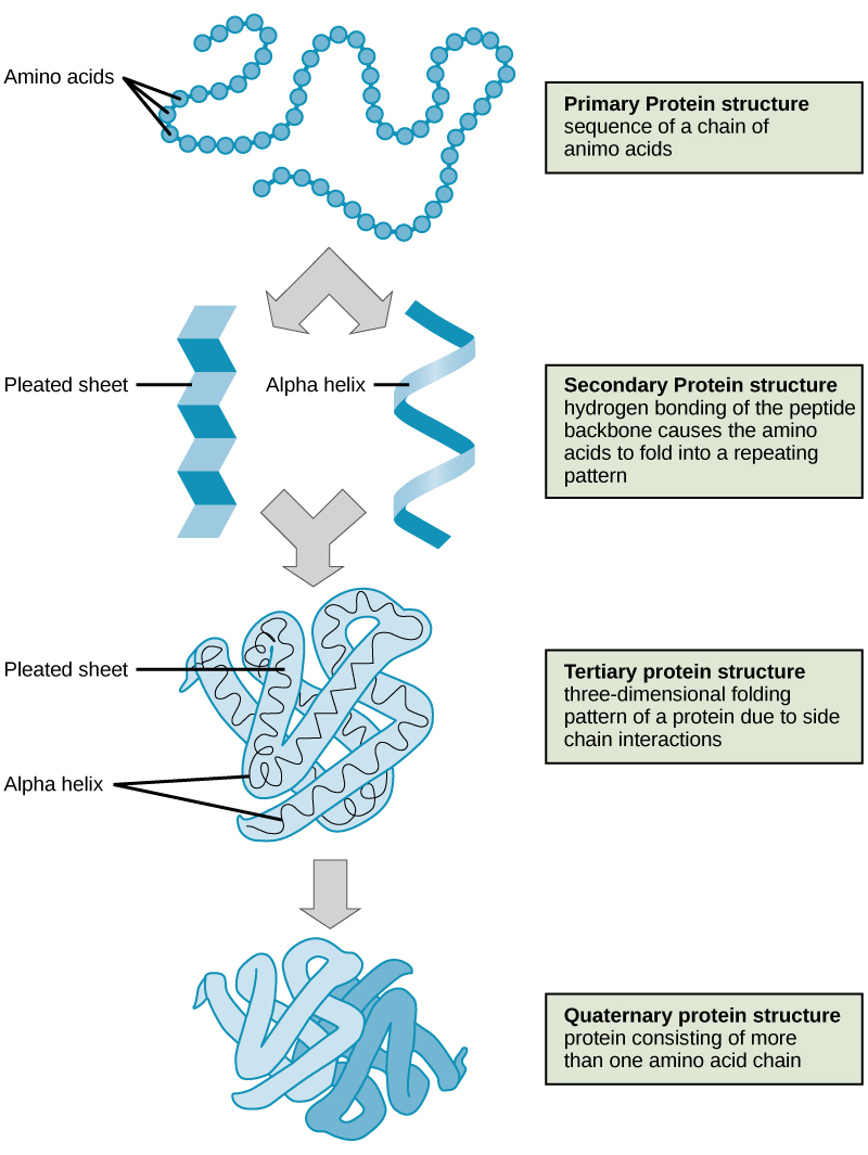 Shown are the four levels of protein structure. The primary structure is the amino acid sequence. Secondary structure is a regular folding pattern due to hydrogen bonding. Two types of secondary structure are shown: a beta pleated sheet, which is flat with regular ripples, and an alpha helix, which coils like a spring. Tertiary structure is the three-dimensional folding pattern of the protein due to interactions between amino acid side chains. Quaternary structure is the interaction of two or more polypeptide chains.