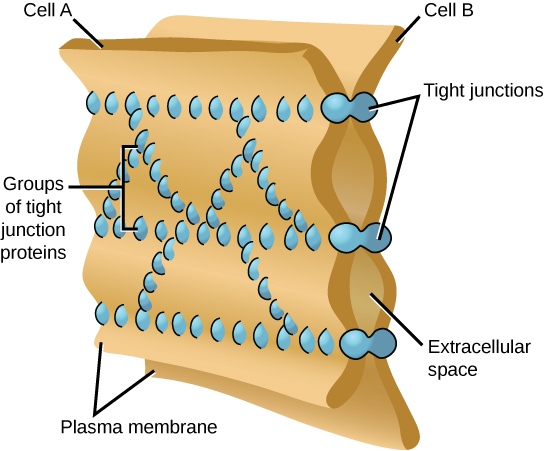 This illustration shows two cell membranes joined together by a matrix of tight junctions.