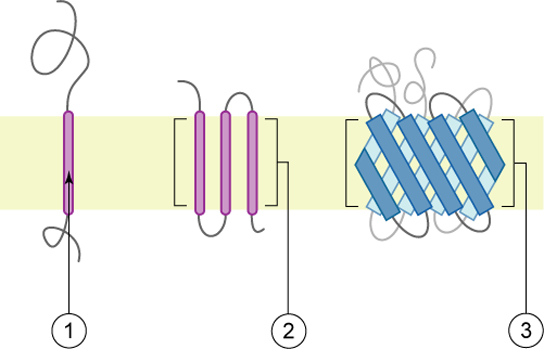 The left part of this illustration shows an integral membrane protein with a single alpha-helix that spans the membrane. The middle part shows a protein with several alpha-helices spanning the membrane. The right part shows a protein with two beta-sheets spanning the membrane.