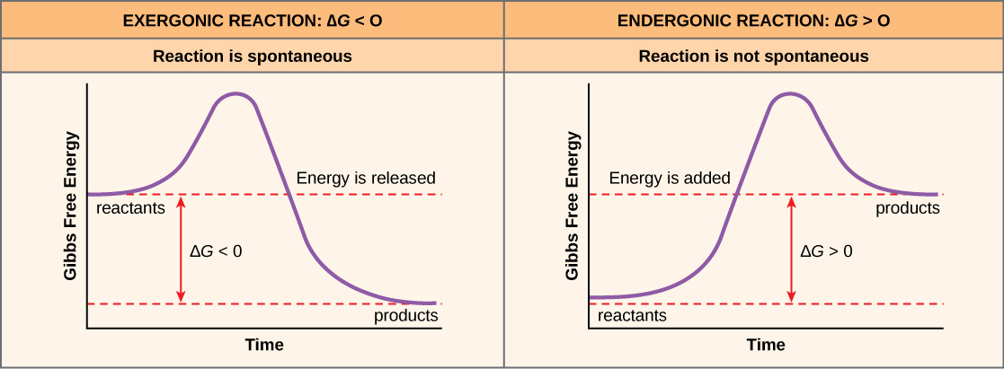 The two plots show the change in Gibbs free energy as reactants are converted to products. Gibbs free energy decreases with time for an exergonic reaction (left), and the reaction is spontaneous. Gibbs free energy increases with time for an exergonic reaction (right), and the reaction is not spontaneous