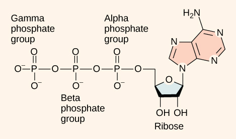 The molecular structure of adenosine triphosphate is shown. Three phosphate groups are attached to a ribose sugar. Adenine is also attached to the ribose.