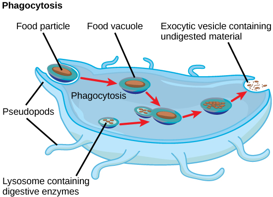 In this illustration, a eukaryotic cell is shown consuming a bacterium. As the bacterium is consumed, it is encapsulated in a vesicle. The vesicle fuses with a lysosome, and proteins inside the lysosome digest the bacterium.