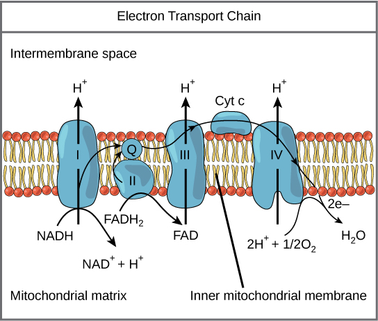 This illustration shows the electron transport chain embedded in the inner mitochondrial membrane. The electron transport chain consists of four electron complexes. Complex I oxidizes NADH to NAD^^{+} and simultaneously pumps a proton across the membrane to the inter membrane space. The two electrons released from NADH are shuttled to coenzyme Q, then to complex III, to cytochrome c, to complex IV, then to molecular oxygen. In the process, two more protons are pumped across the membrane to the intermembrane space, and molecular oxygen is reduced to form water. Complex II removes two electrons from FADH_{2}, thereby forming FAD. The electrons are shuttled to coenzyme Q, then to complex III, cytochrome c, complex I, and molecular oxygen as in the case of NADH oxidation.