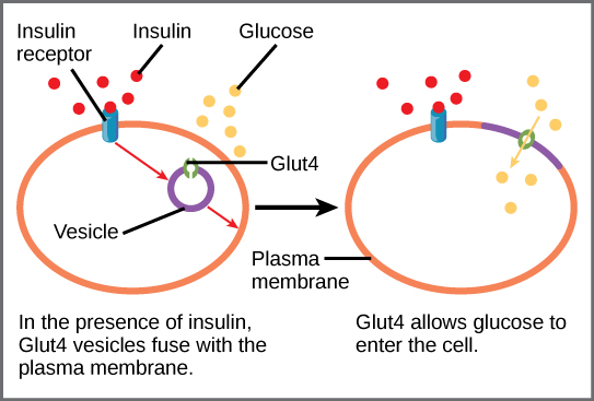 When insulin in the bloodstream binds the insulin receptor in the plasma membrane of a target cell, a vesicle containing the glucose transporter Glut-4 fuses with the plasma membrane. Glut-4 is a transporter that allows glucose to enter the cell.