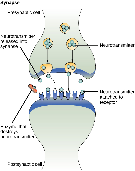 This illustration shows closely juxtaposed bulbous protrusions of presynaptic and postsynaptic cells. The presynaptic cell stores neurotransmitter in synaptic vesicles. When signaling occurs, the vesicles fuse with the cell membrane, thereby releasing the neutrotransmitter, which then binds to receptors on the postsynaptic cell. An enzyme on the surface of the postsynaptic cell destroys the neurotrasmitter, thereby terminating the signal.