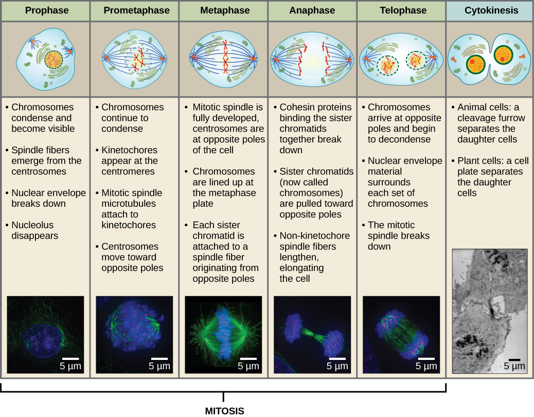 This diagram shows the five phases of mitosis and cytokinesis. During prophase, the chromosomes condense and become visible, spindle fibers emerge from the centrosomes, the nuclear envelope breaks down, and the nucleolus disappears. During prometaphase, the chromosomes continue to condense and kinetochores appear at the centromeres. Mitotic spindle microtubules attach to the kinetochores, and centrosomes move toward opposite poles. During metaphase, the mitotic spindle is fully developed, and centrosomes are at opposite poles of the cell. Chromosomes line up at the metaphase plate and each sister chromatid is attached to a spindle fiber originating from the opposite pole. During anaphase, the cohesin proteins that were binding the sister chromatids together break down. The sister chromatids, which are now called chromosomes, move toward opposite poles of the cell. Non-kinetochore spindle fibers lengthen, elongating the cell. During telophase, chromosomes arrive at the opposite poles and begin to decondense. The nuclear envelope reforms. During cytokinesis in animals, a cleavage furrow separates the two daughter cells. In plants, a cell plate separates the two cells.