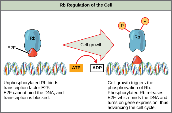 This illustration shows the regulation of the cell cycle by the Rb protein. Unphosphorylated Rb binds the transcription factor E2F. E2F cannot bind the DNA, and transcription is blocked. Cell growth triggers the phosphorylation of Rb. Phosphorylated Rb releases E2F, which binds the DNA and turns on gene expression, thus advancing the cell cycle.