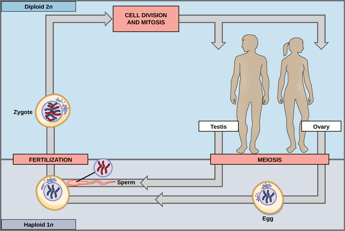 an analysis of the process of meiosis or production of sex cells
