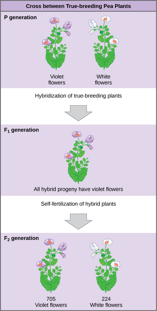 The diagram shows a cross between pea plants that are true-breeding for purple flower color and plants true-breeding for white flower color. This cross-fertilization of the P generation resulted in an F_{1} generation with all violet flowers. Self-fertilization of the F_{1} generation resulted in an F_{2} generation that consisted of 705 plants with violet flowers, and 224 plants with white flowers.