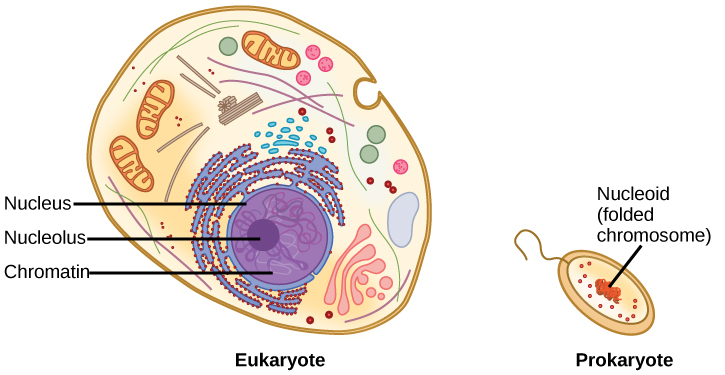 Illustration shows a eukaryotic cell, which has a membrane-bound nucleus containing chromatin and a nucleolus, and a prokaryotic cell, which has DNA contained in an area of the cytoplasm called the nucleoid. The prokaryotic cell is much smaller than the eukaryotic cell.