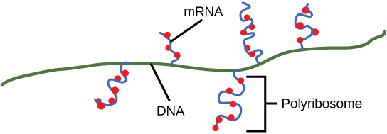 Illustration shows multiple mRNAs transcribed off one gene. Ribosomes attach to the mRNA before transcription is complete and begin to make protein.