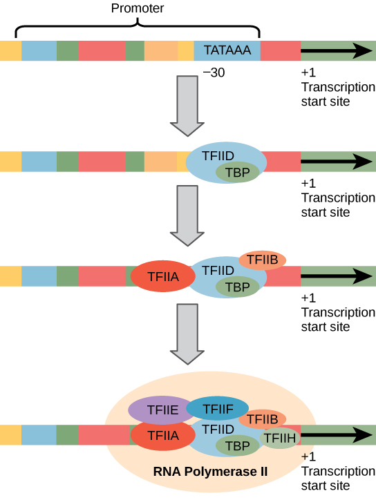 Illustration shows a series of transcription factors binding to the promoter, which is upstream of the gene. After all of the transcription factors are bound, RNA polymerase binds as well.