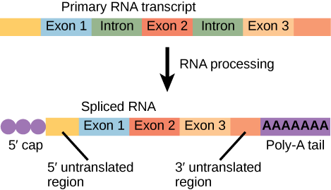An illustration shows that before RNA processing, there is a primary RNA transcript including five boxes labeled, left to right, as exon 1, intron, exon 2, intron, and exon 3. After RNA processing, there is a spliced RNA with these parts, left to right: a 5' cap, a 5' untranslated region, exon 1, exon 2, exon 3, a 3' untranslated region, and a poly-a tail.