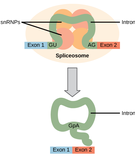 Illustration shows a spliceosome bound to mRNA. An intron is wrapped around snRNPs associated with the spliceosome. When the splice is complete, the exons on either side of the intron are fused together, and the intron forms a ring structure.