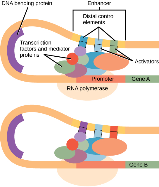 Eukaryotic gene expression is controlled by a promoter immediately adjacent to the gene, and an enhancer far upstream. The DNA folds over itself, bringing the enhancer next to the promoter. Transcription factors and mediator proteins are sandwiched between the promoter and the enhancer. Short DNA sequences within the enhancer called distal control elements bind activators, which in turn bind transcription factors and mediator proteins bound to the promoter. RNA polymerase binds the complex, allowing transcription to begin. Different genes have enhancers with different distal control elements, allowing differential regulation of transcription.