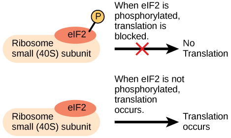 The eIF2 protein is a translation factor that binds to the small 40S ribosome subunit. When eIF2 is phosphorylated, translation is blocked.