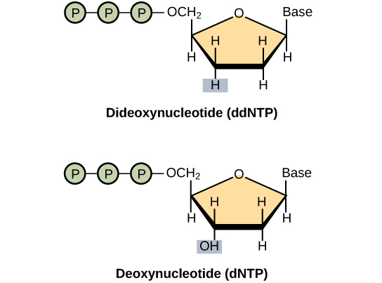 A deoxynucleotide consists of a deoxyribose sugar, a base, and three phosphate groups. Dideoxyribose is identical to deoxyribose except that the hydroxyl (–OH) group at the 3' position is replaced by H. A 3' hydroxyl is necessary for elongation of the DNA chain, and the chain therefore stops growing if a dideoxyribose instead of deoxyribose is incorporated into the growing chain.