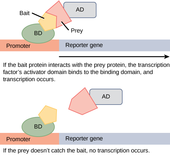 In two-hybrid screening, the binding domain of a transcription factor is separated from the activator domain. A bait protein is attached to the DNA-binding domain of a transcription factor, and a prey protein is attached to the activator domain. If the prey catches the bait (in other words, binds to it), transcription of a reporter gene occurs. If the prey does not catch the bait, no transcription occurs. Scientists use this transcriptional activation to determine if interaction between the bait and prey has occurred.