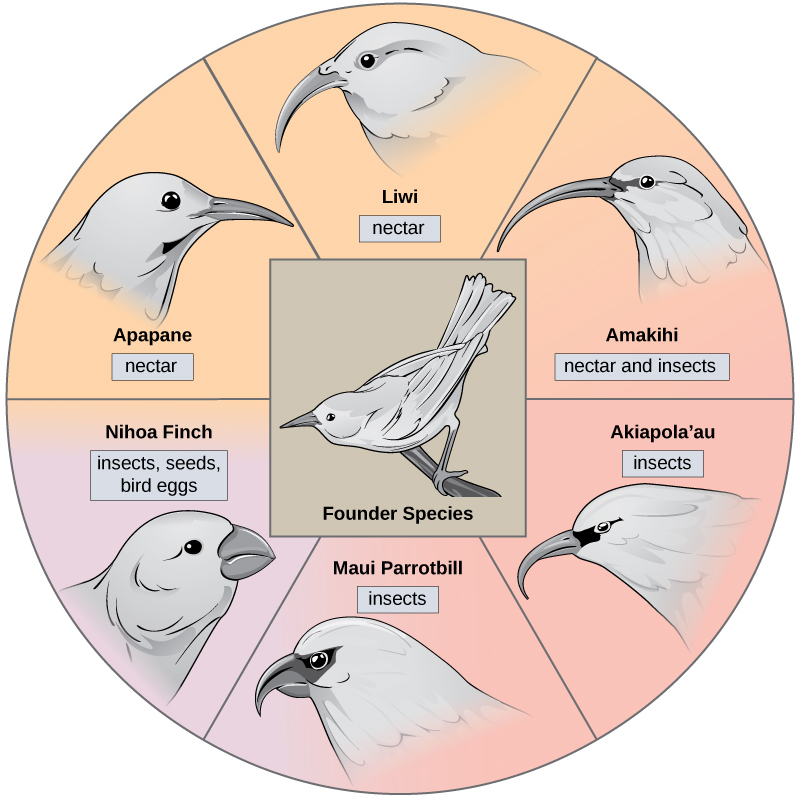 The illustration shows a wheel with the founder species at the hub. The spokes of the wheel are six modern honeycreeper species that evolved from the founder species. Five of these birds eat insects and/or nectar and have long, thick beaks: the Apapane, Liwi, Amakihi, Akiapola'au and Maui Parrotbill. The Nihoa Finch has a short, fat beak and eats insects, seeds, and bird eggs.