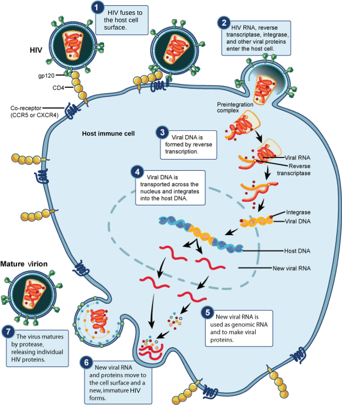 The illustration shows the steps in the HIV life cycle. In step 1, gp120 glycoproteins in the viral envelope attach to a CD4 receptor on the host cell membrane. The glycoproteins then attached to a co-receptor, CCR5 or CXCR4, and the viral envelope fuses with the cell membrane. HIV RNA, reverse transcriptase, and other viral proteins are released into the host cell. Viral DNA is formed from RNA by reverse transcriptase. Viral DNA is then transported across the nuclear membrane, where it integrates into the host DNA. New viral RNA is made; it is used as genomic RNA and to make viral proteins. New viral RNA and proteins move to the cell surface and a new, immature HIV forms. The virus matures when a protease releases individual HIV proteins.