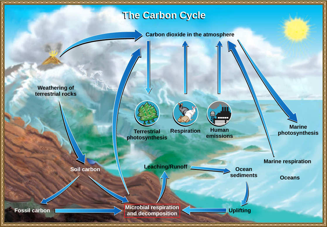 This illustration shows the role of bacteria in the carbon cycle. Bacteria break down organic carbon, which is released as carbon dioxide into the atmosphere.