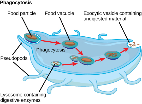 In this illustration, a eukaryotic cell is shown consuming a food particle. As the food particle is consumed, it is encapsulated in a vesicle. The vesicle fuses with a lysosome, and proteins inside the lysosome digest the food particle. Indigestible waste material is ejected from the cell when an exocytic vesicle fuses with the plasma membrane.