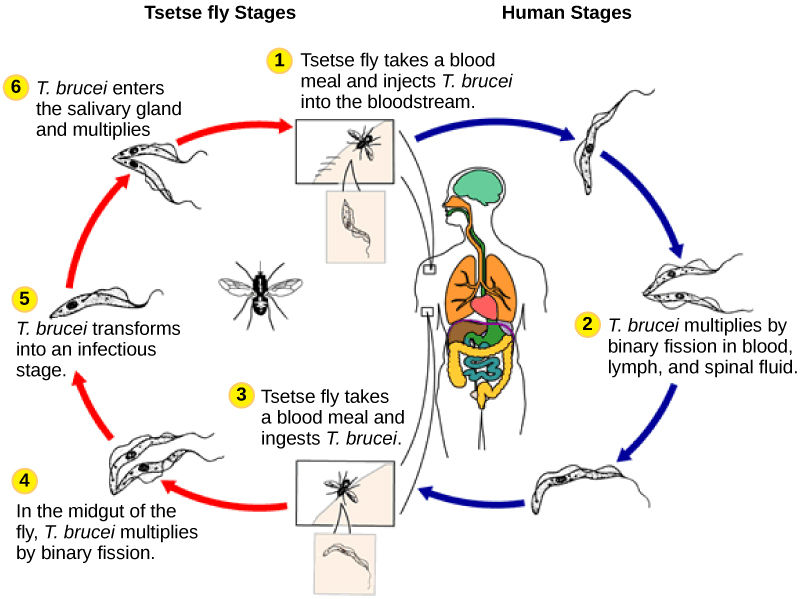 The life cycle of  T. brucei begins when the tetse fly takes a blood meal from a human host, and inject the parasite into the bloodstream. T. brucei multiplies by binary fission in blood, lymph and spinal fluid. When another tsetse fly bites the infected person, it takes up the pathogen, which then multiplies by binary fission in the fly's midgut. T. brucei transforms into an infective stage and enters the salivary gland, where it multiplies. The cycle is completed when the fly takes a blood meal from another human.