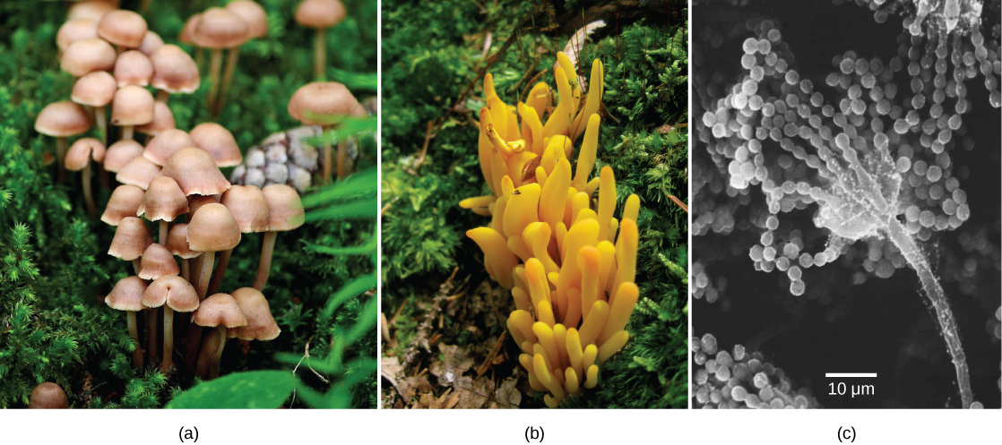 Left photo shows a cluster of mushrooms with bell-like domes attached to slender stalks. Middle photo shows a yellowish-orange fungus that grows in a cluster and is lobe-shaped. Right photo is a micrograph that shows a long, slender stalk that branches into long chains of spores that look like a string of beads.
