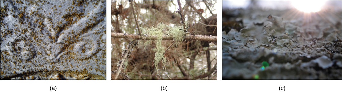 Different lichens are shown. Part A shows a lichen that appears like brown flecks on gray rock. Part B shows a moss-like lichen hanging from a tree. Part C shows lichen that have a wide, flat, convoluted shape.