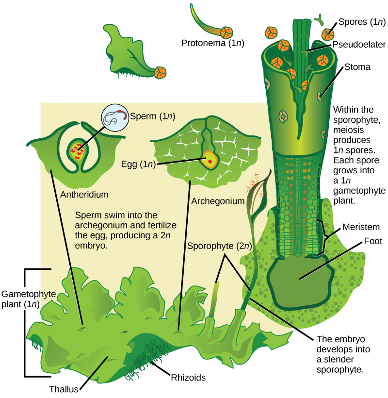 In hornworts, the gametophyte is a haploid (1n) leaf-like structure with slender stalks called rhizoids underneath. Male sex organs called antheridia produce sperm, and female sex organs called archegonia produce eggs. Both male and female sex organs form just beneath the surface of the gametophyte, and are exposed to the surface as the organs mature. The sperm swims to the egg or is propelled by water. When the egg is fertilized, the embryo grows into a hollow tube-like structure called a sporophyte. Meiosis inside the sporophyte produces haploid (1n) spores. The spores are ejected from the top of the tube. They grow into new gametophytes, completing the cycle.