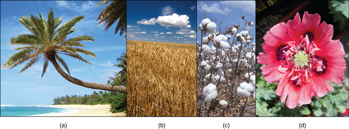 Photo A shows a palm tree on a beach. Photo B shows a field of wheat. Photo C shows white cotton balls on a cotton plant. Photo D shows a red poppy flower.