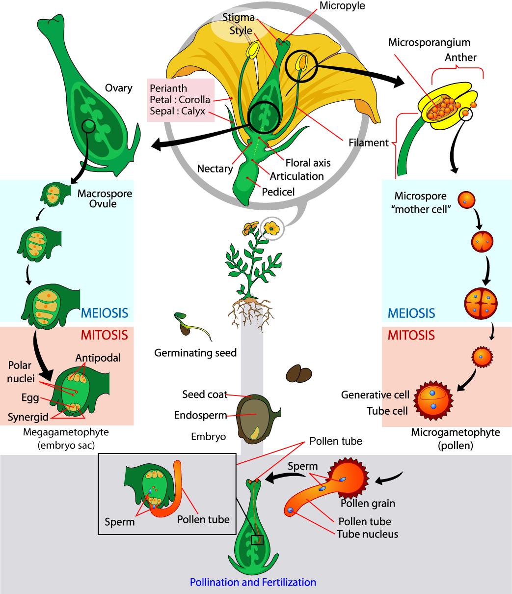 The parts of the flower are shown. The base of the perianth, which includes petals and sepals, is called the flora axis. A narrowing called the articulation separates the floral axis from the lower pedicel, which attached the flower to a stem. Microsporangia are in the anthers. Microspores, or mother cells form inside the microsporangia. The microspore undergoes meiosis, producing four cells, each of which becomes a grain of pollen with a hard coating. The pollen grain undergoes mitosis, producing a generative cell and a tube cell. Macrospores form inside vase-like carpel, in the ovules, which are in the ovaries. The macrospores undergo meiosis, producing four cells. The cells then undergo mitosis, producing three antipodals, two polar nuclei, and egg and two synergids, each with a nucleus. Together, these cells are called the megagametophyte, or embryo sac. Pollination occurs when a pollen grain lands on the stigma, the flat structure at the top of the carpel.  The tube nucleus grows into the long style, to the ovary. There, the generative cell of the sperm fertilizes the egg.