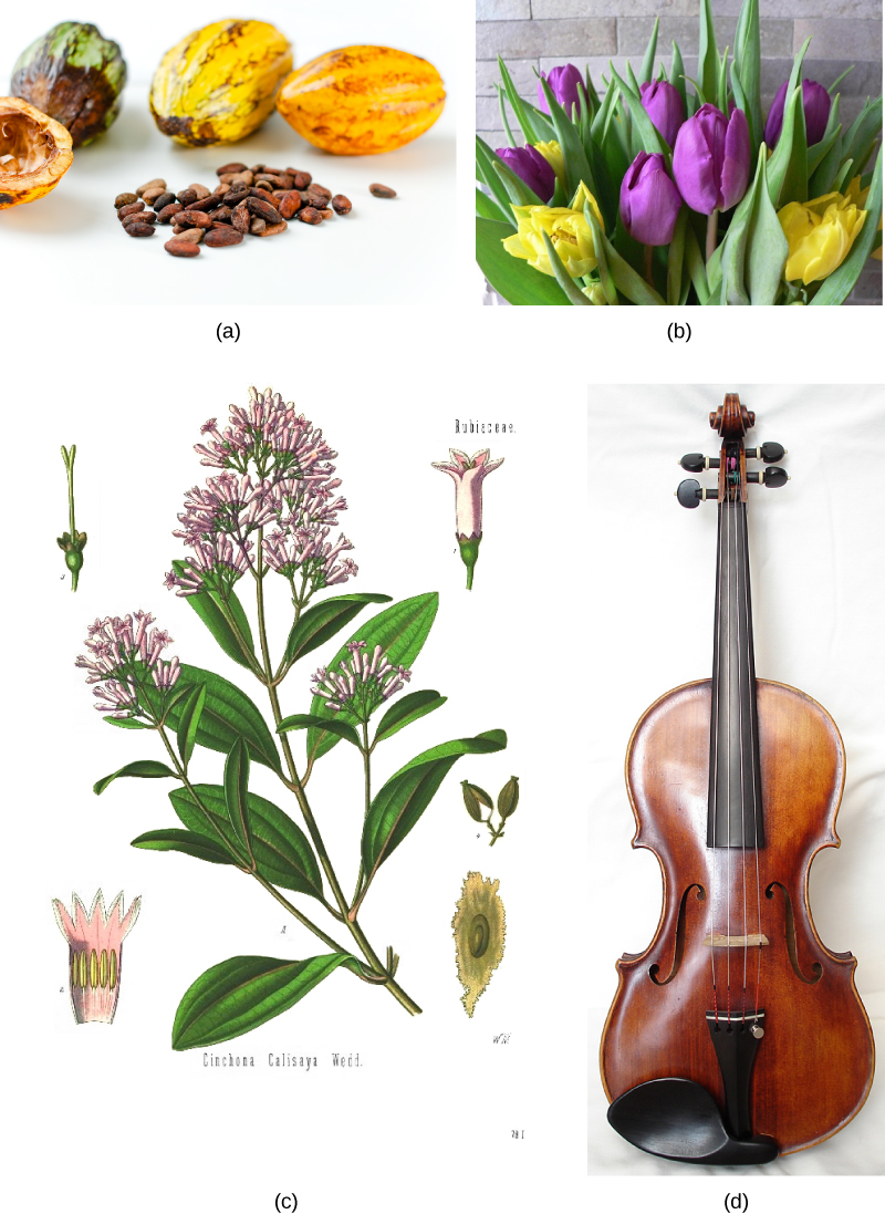 Photo A shows small, almond-shaped cacao seeds and the oval cacao fruit. Illustration B shows the teardrop-shaped leaves and small pink flowers of a cinchona tree. Photo C shows a violin. Photo D shows a bouquet of purple and yellow tulips.