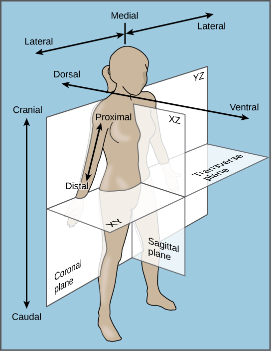The illustration shows a woman's body dissected into planes. The coronal plane separates the front from the back. The front of the body is the ventral side, and the back of the body is the dorsal side. The upper body is defined as cranial, and the lower body is defined as caudal.  The sagittal plane dissects the body from side to side. The medial line goes through the center of the body. The areas to the left and right of the medial line are defined as lateral. Parts of the body close to the medial line are proximal, and those further away are distal.