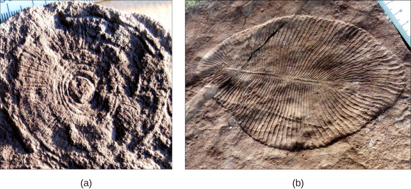 Part a shows a fossil that resembles a wheel, with spokes radiating out from the center, imprinted on a rock. Part b shows a fossil that resembles a teardrop shaped leaf, with grooves radiating out from a central rib.