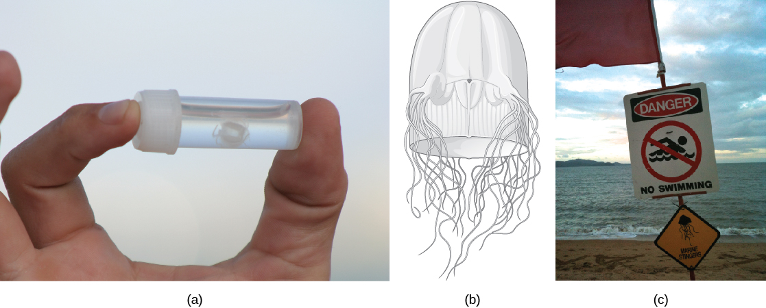"Photo A shows a person holding a small vial with a white jelly inside. The jelly is no bigger than a human fingernail. Illustration B shows a thimble-shaped jelly with two thick protrusions visible on either side. Tentacles radiate from the protrusions, and more tentacles radiate from the back. Photo C shows a ""Danger, no swimming"" sign on a beach, with a picture of a jelly."