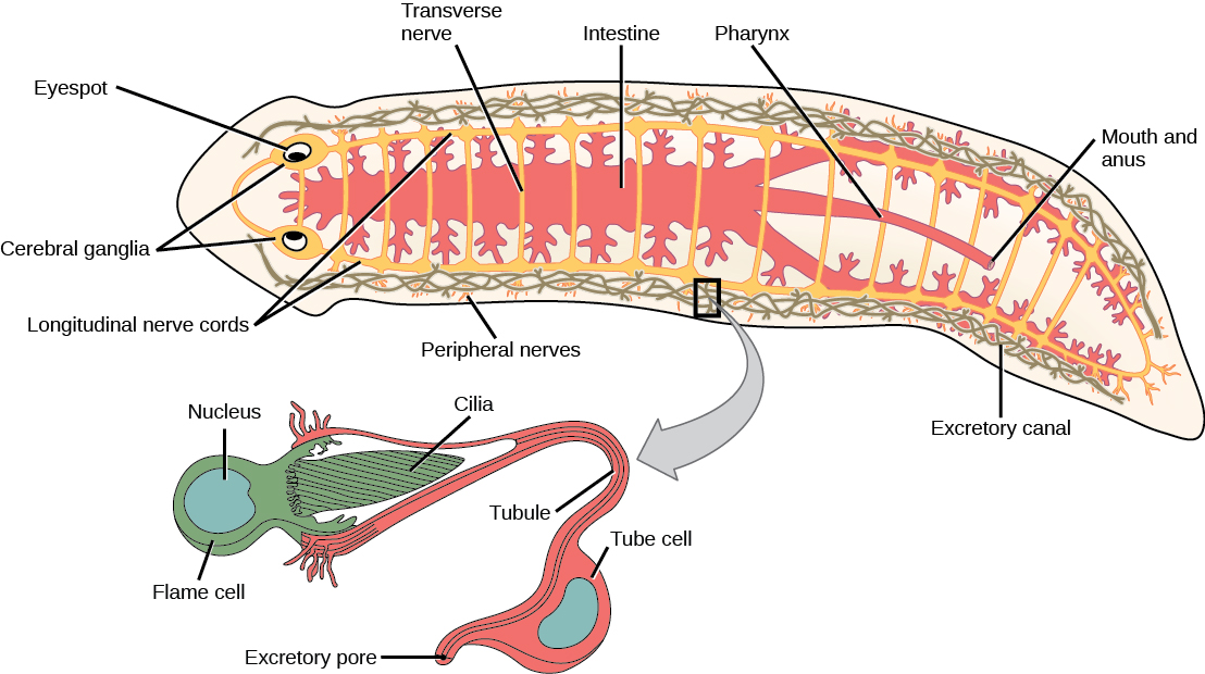 Illustration shows the digestive, nervous and excretory systems in a flat, worm-like planaria. The digestive system starts at the ventral mouth opening in the middle of the animal, and then extends to the head through the middle of the body, and toward the along the sides of the body. Many lateral branches occur along the digestive system. The nervous system has 2 cerebral ganglia at the eyes in the head, and 2 ventral nerve cords with transverse connections along the length of the body to the tail. The excretory system is arranged in 2 long mesh-like structures down each side of the body.