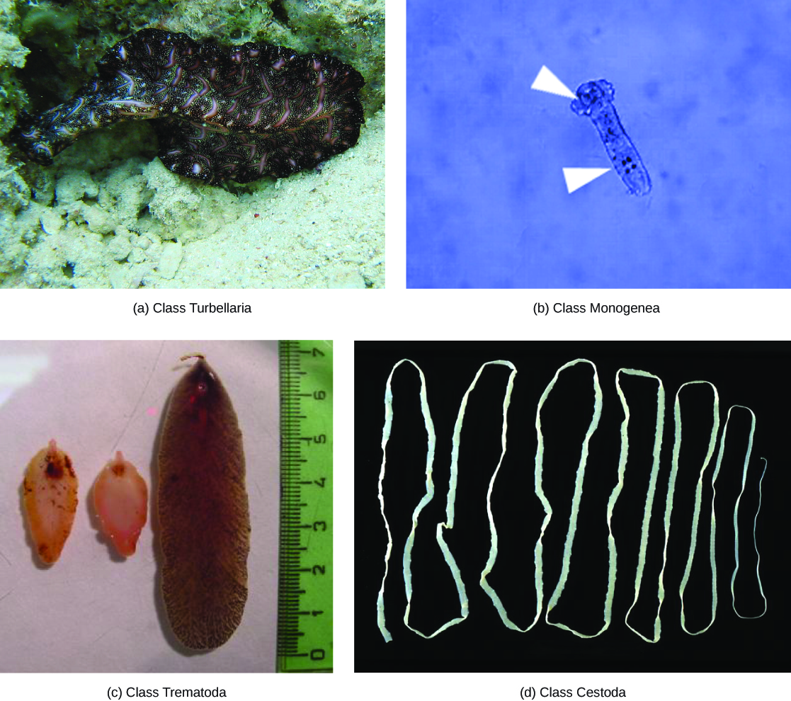 Photo A shows a Bedford's flatworm from the class Turbellaria. The worm has the appearance of a fringed ribbon, black with pink stripes, swimming above the sand. Photo B shows a Dactylogyrus from the class Monogenea. The worm's body is a long, thin translucent oval with bulges at one end that give the appearance of a head. Three dark spots appear in the head, and four more dark spots three-quarters appear of the way down the body. Anchors that enable the worm to latch onto gills are located near these spots. Photo C shows a foot- shaped brown worm. Photo D shows a long, thin ribbon-like white worm.