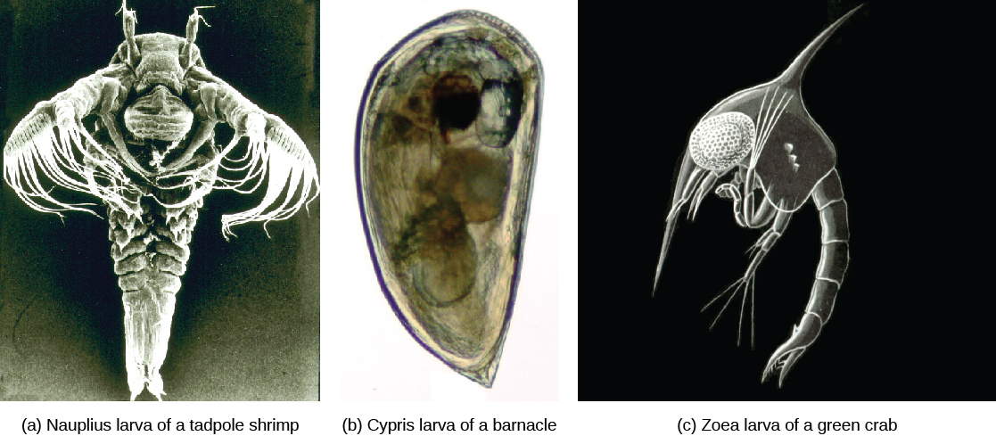 Micrograph a shows a shrimp nauplius larva, which has a teardrop-shaped body with tentacles and long, frilly arms at the wide end. Micrograph b shows a barnacle cypris larva, which is similar in shape to a clam. Micrograph c shows green crab zoea larva, which resembles a shrimp.