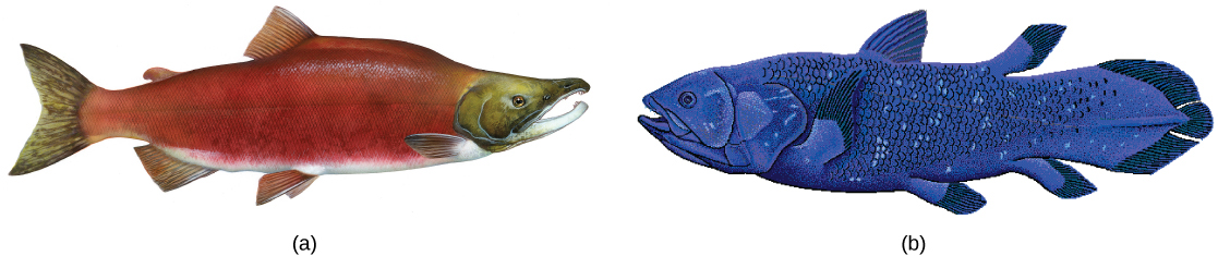 The illustration compares a bright red salmon (a) and a blue coelacanth (b), both of which are similar in shape and have fins.