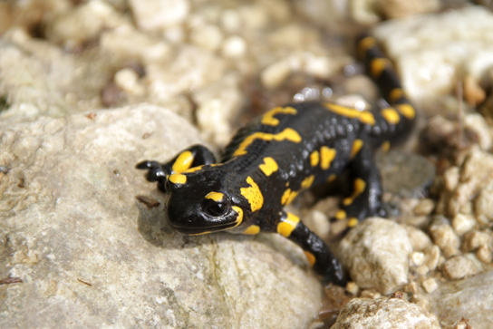 The photo shows a black salamander with bright yellow spots.