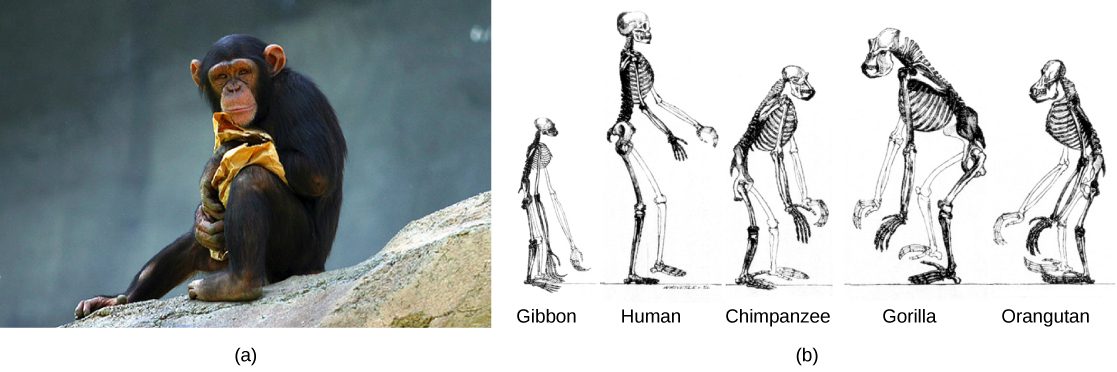 Part a shows a chimpanzee. Part b shows the skeletons of a gibbon, human, chimpanzee, gorilla, and orangutan. The skeletons are very similar and vary in the length of the limbs, posture, and shape and size of the head.