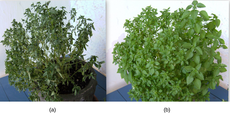 Left photo shows a wilted plant with wilted leaves. Right photo shows a healthy plant.