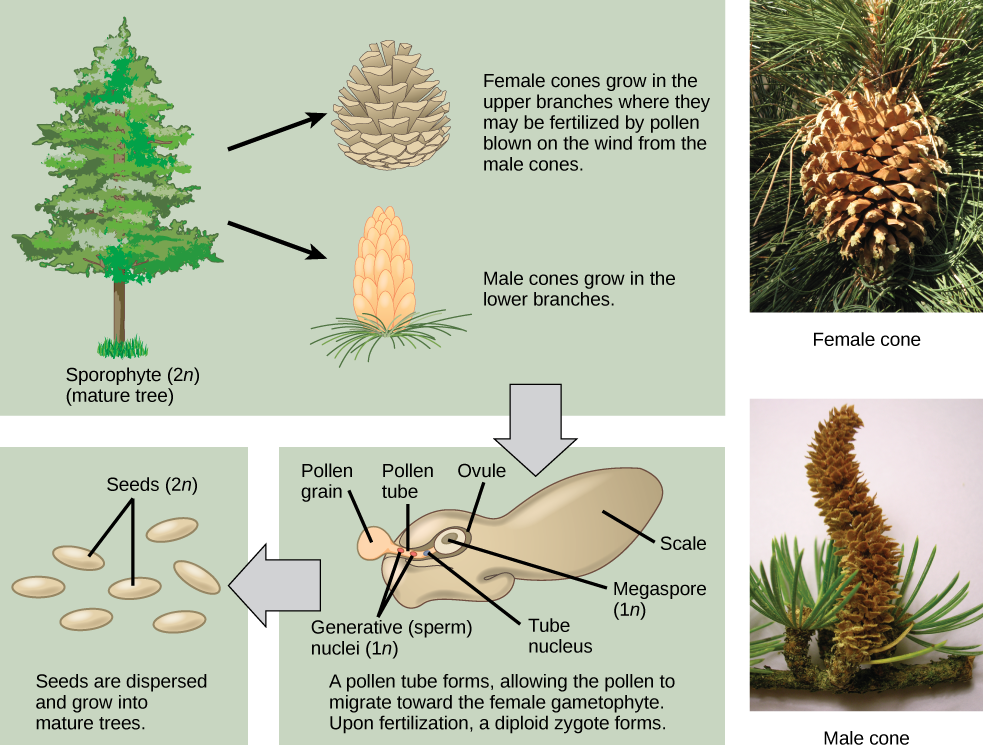 The conifer life cycle begins with a mature tree, which is called a sporophyte and is diploid (2n). The tree produces male cones in the lower branches, and female cones in the upper branches. The male cones produce pollen grains that contain two generative (sperm) nuclei and a tube nucleus. When the pollen lands on a female scale, a pollen tube grows toward the female gametophyte, which consists of an ovule containing the megaspore. Upon fertilization, a diploid zygote forms. The resulting seeds are dispersed, and grow into a mature tree, ending the cycle. Both the male and female cone are made up of rows of scales, but the male the female cone is round and wide, and the male cone is long and thin with thinner scales.