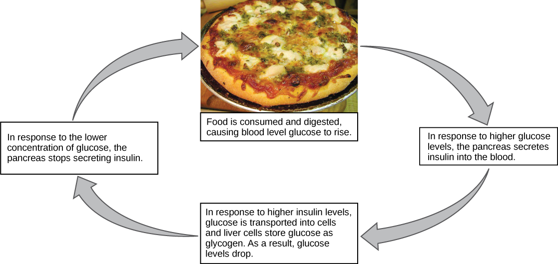 Illustration shows the response to consuming a meal. When food is consumed and digested, blood glucose levels rise. In response to the higher concentration of glucose, the pancreas secretes insulin into the blood. In response to the higher insulin levels in the blood, glucose is transported into many body cells. Liver cells store glucose as glycogen. As a result, blood sugar levels drop. In response to the lower concentration of glucose, the pancreas stops secreting insulin.