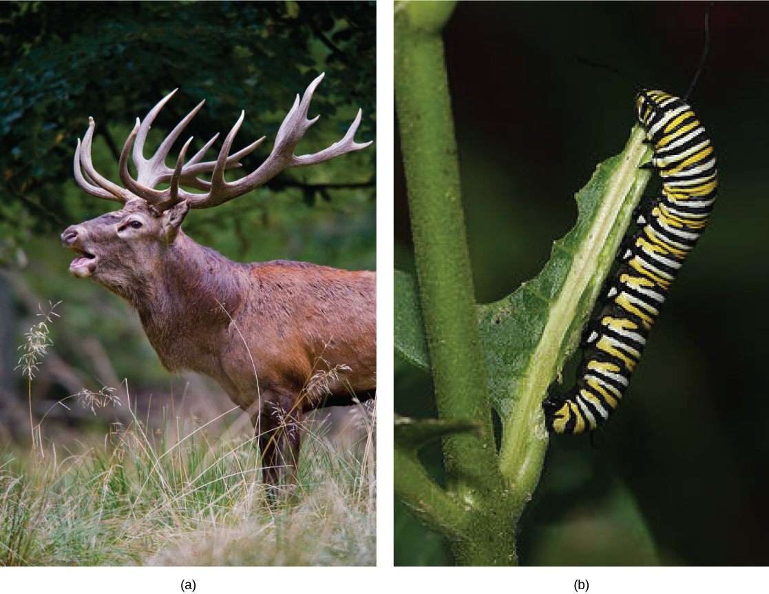 Left photo shows a buck with antlers. Right photo shows a black, yellow, and white striped caterpillar eating a leaf.